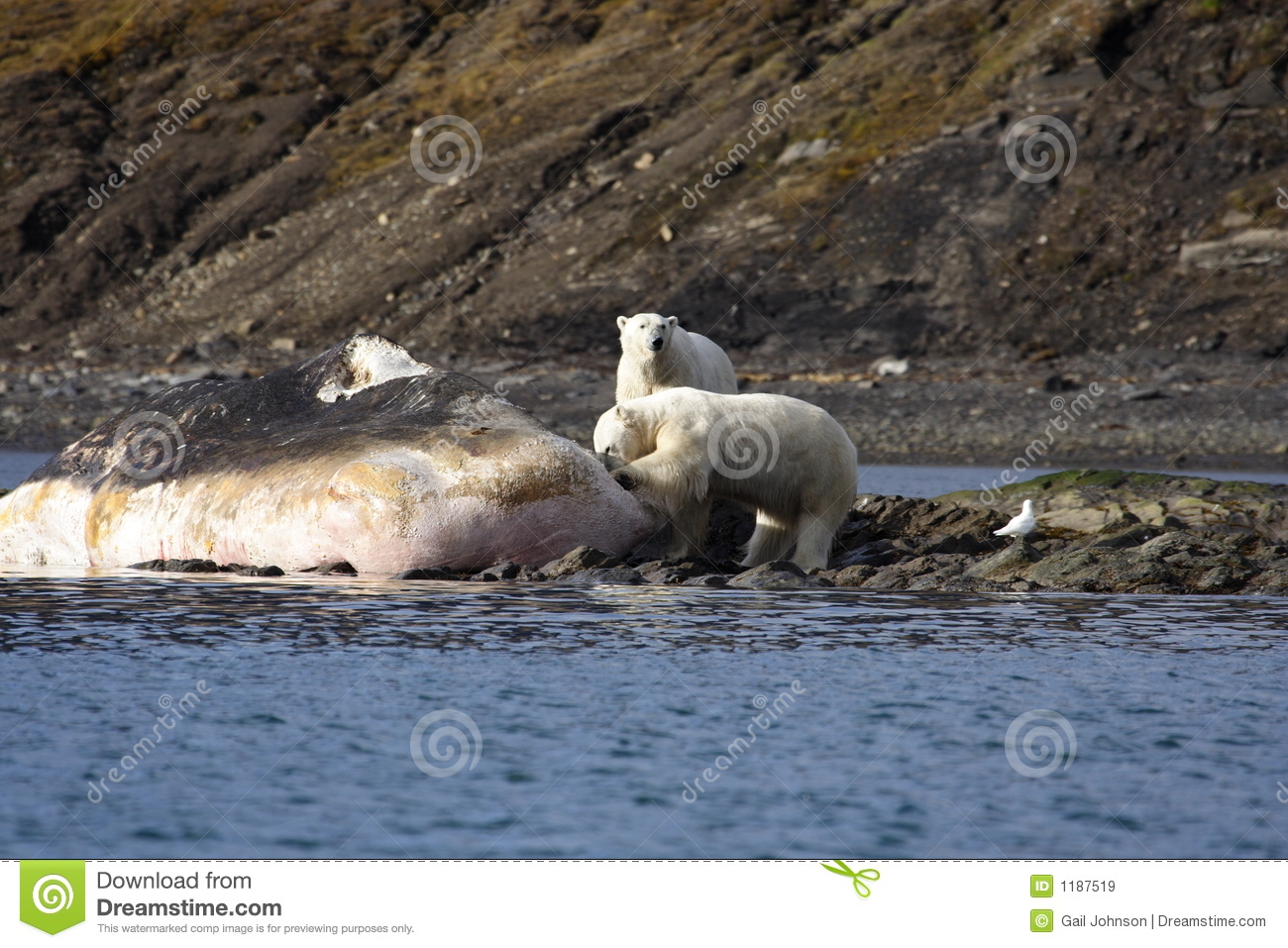 Polar Bears on a washed up sperm whale