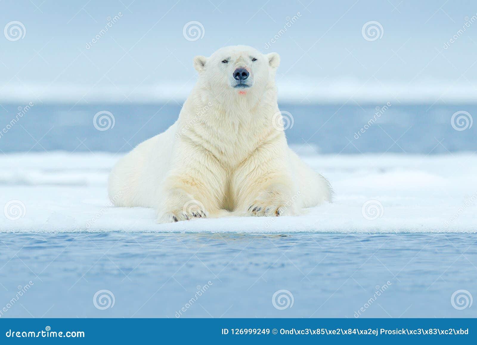 Polar betreffen Sie Treibeisrand mit Schnee und Wasser in Svalbard-Meer Weißes großes Tier im Naturlebensraum, Europa Szene f der