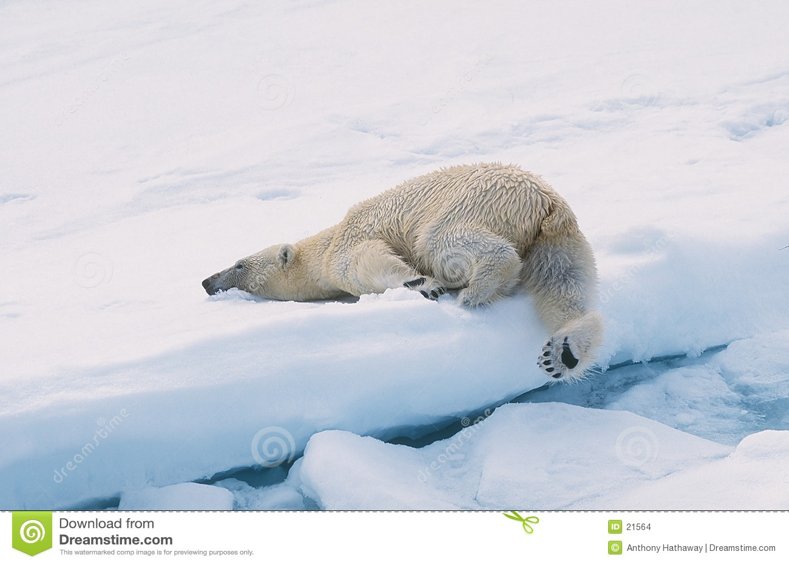 Polar björn