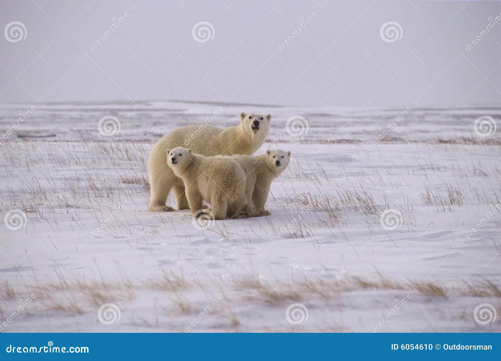 Polar björnfamilj
