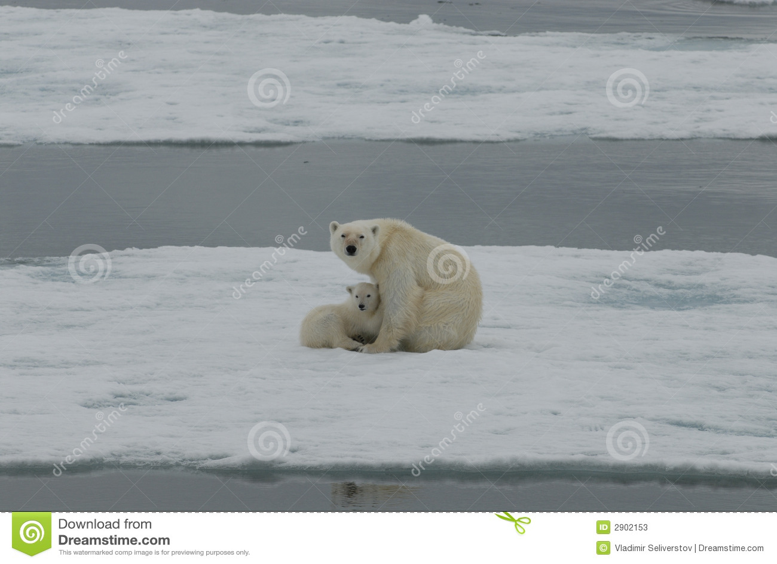Polar björngröngöling