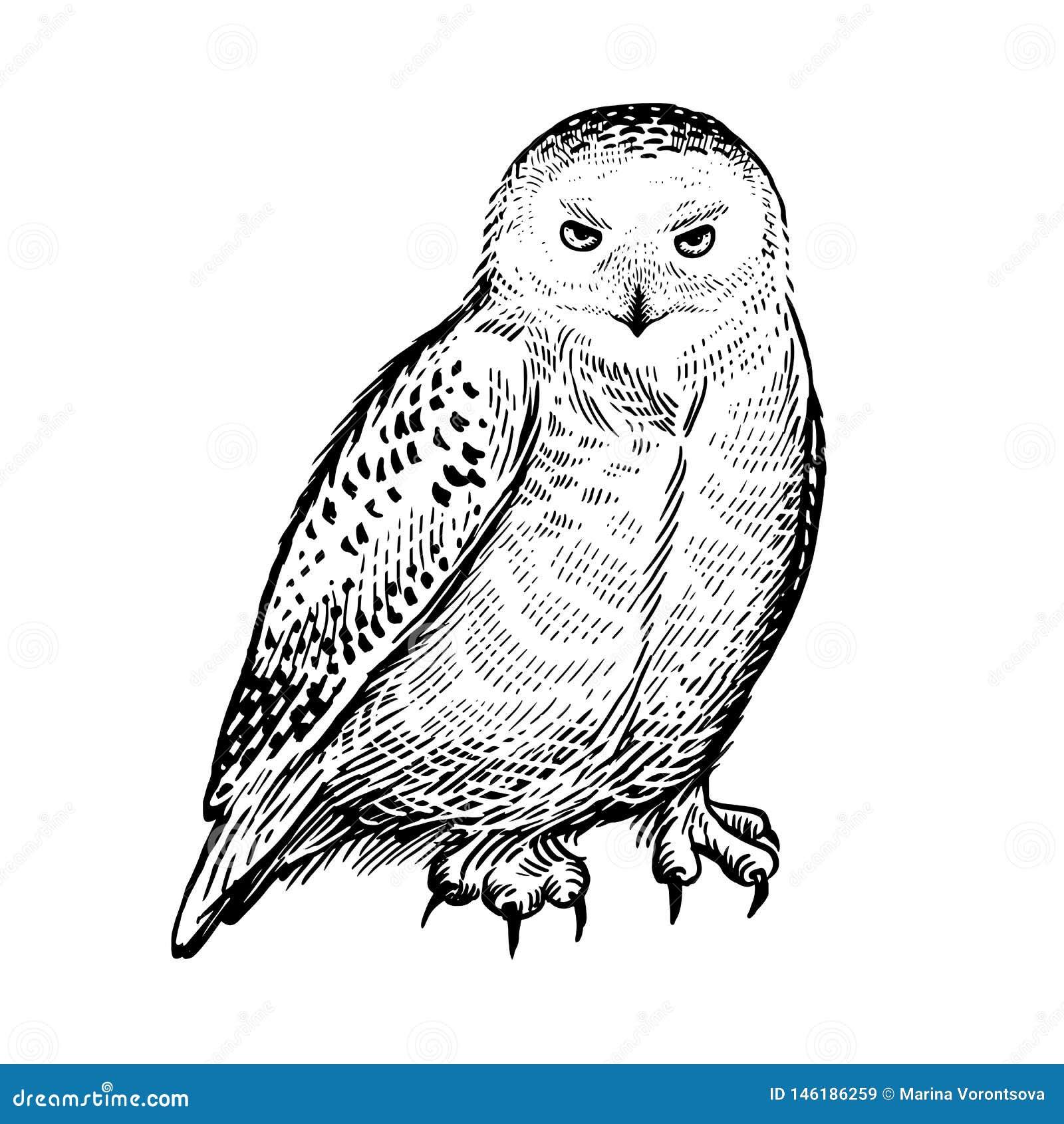 Polar owl Rov- skogf?gel Skissa handteckningen svart white