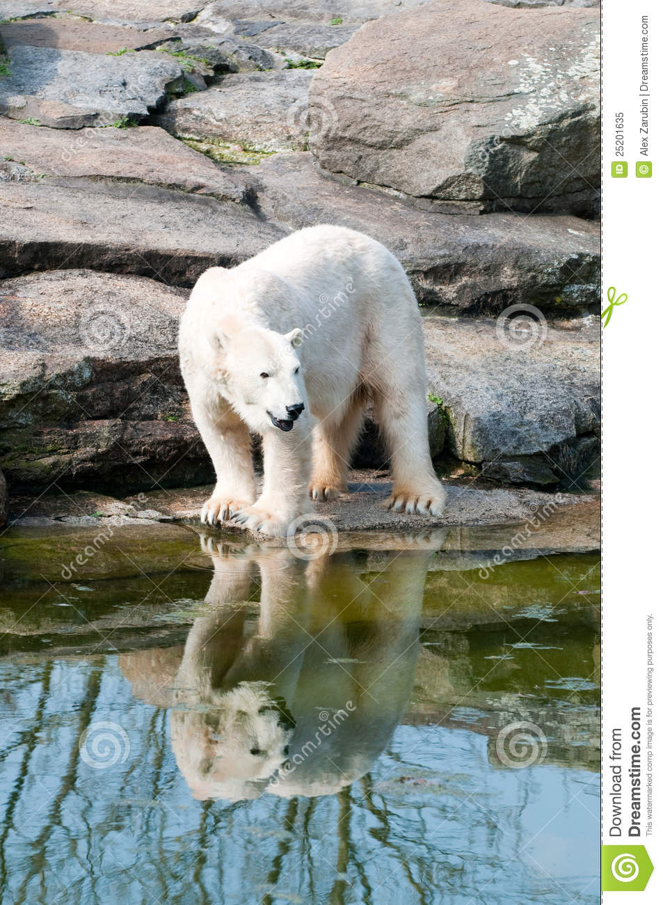 Polar white bear