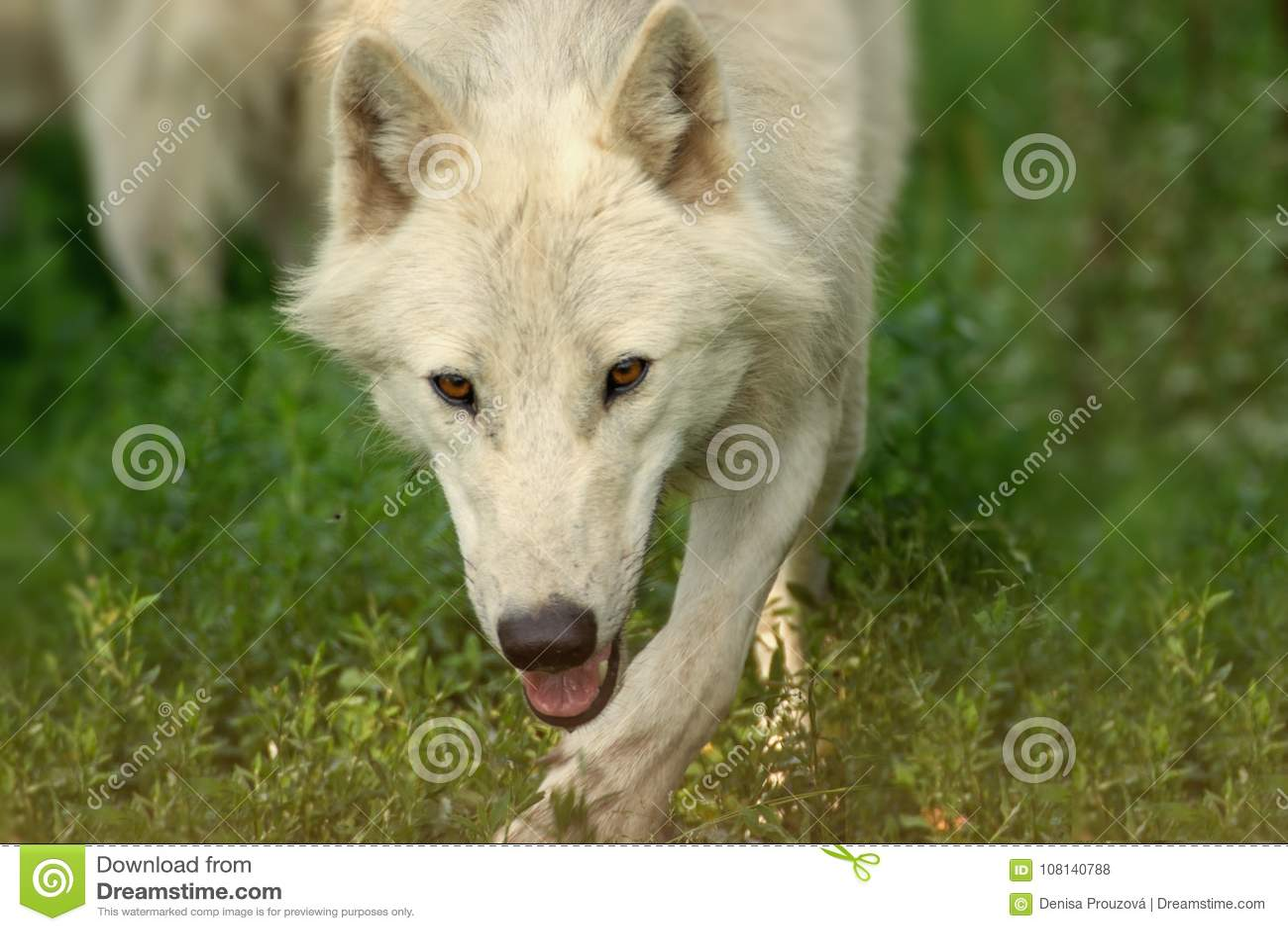 Polar, white wolf run in grass is running