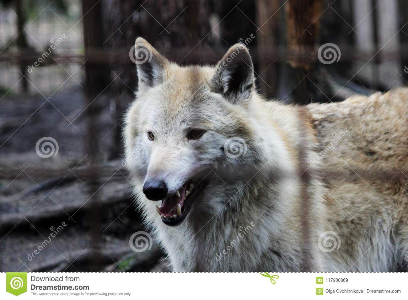 Polar Wolf Behind Bars, Summer Color Canis Lupus Tundrarum