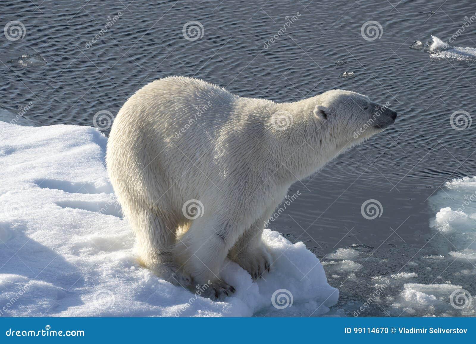 Polare riguardi il ghiaccio