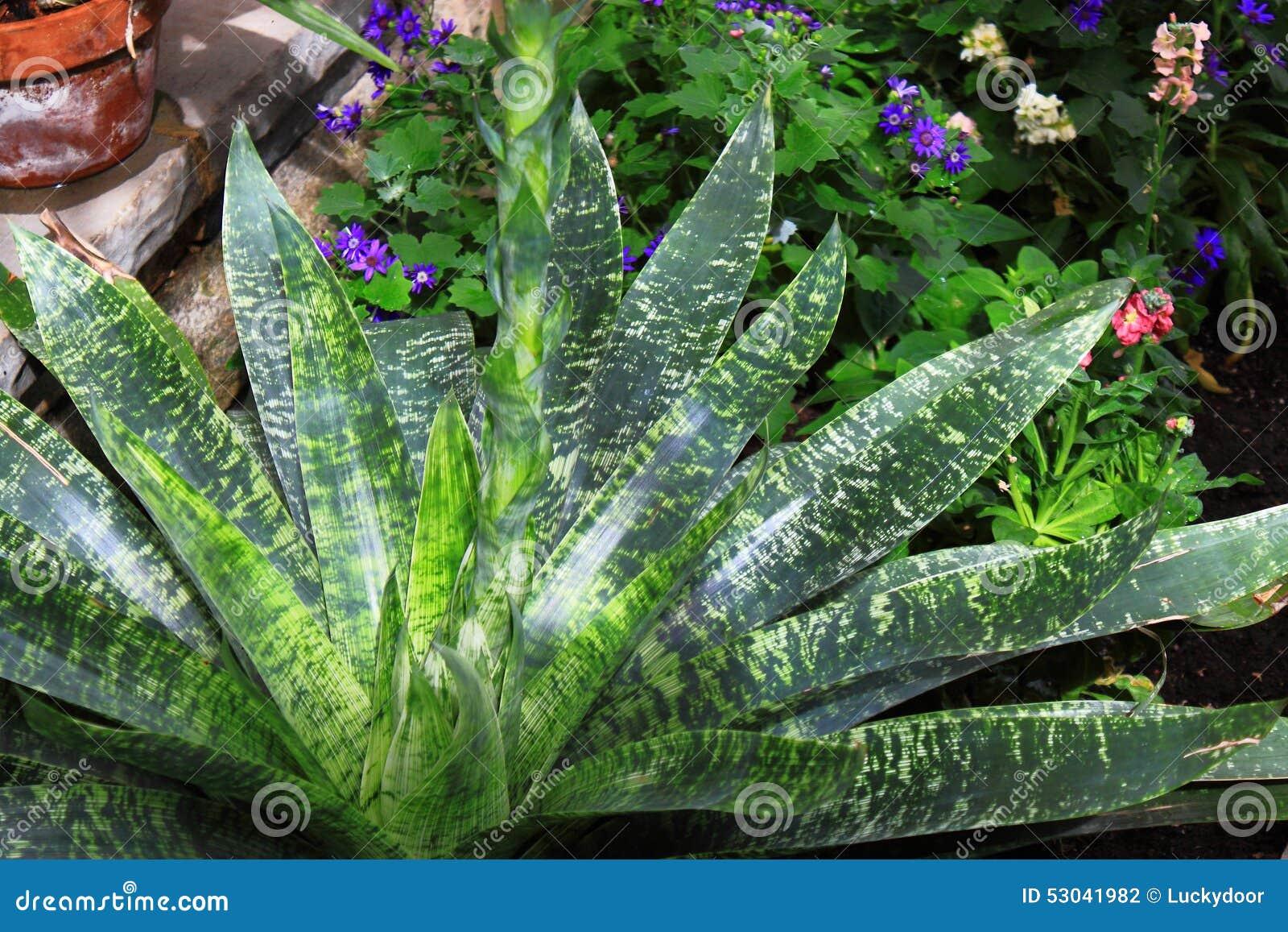 Polaroidübertragung des Kaktus