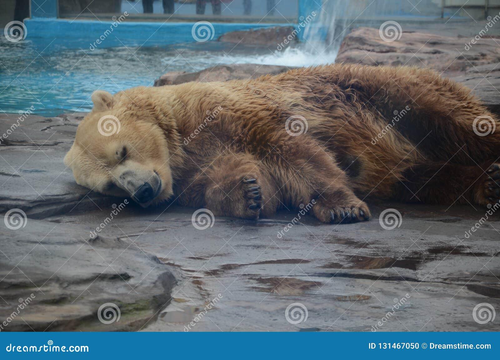 Polart sova för björn
