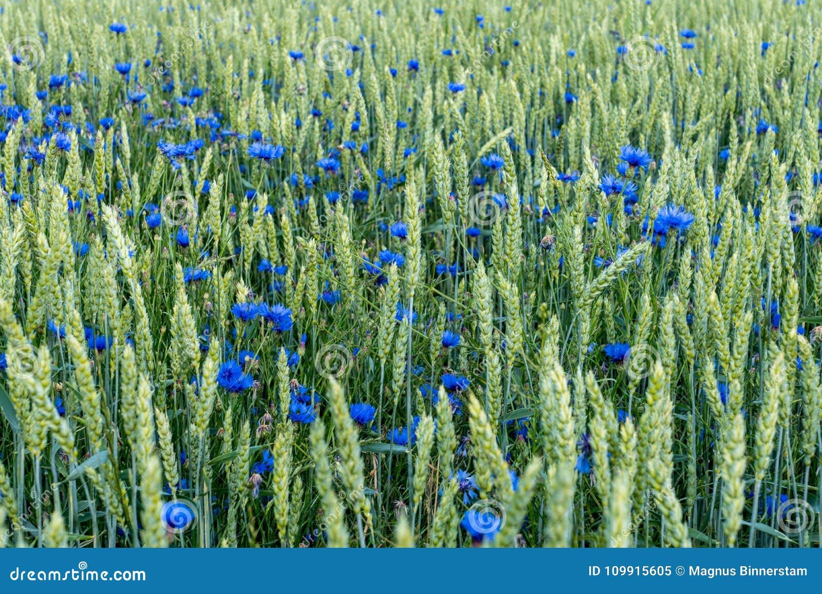 Pole banatka z błękitnymi czapeczka kwiatami mieszał z zielonymi słoma