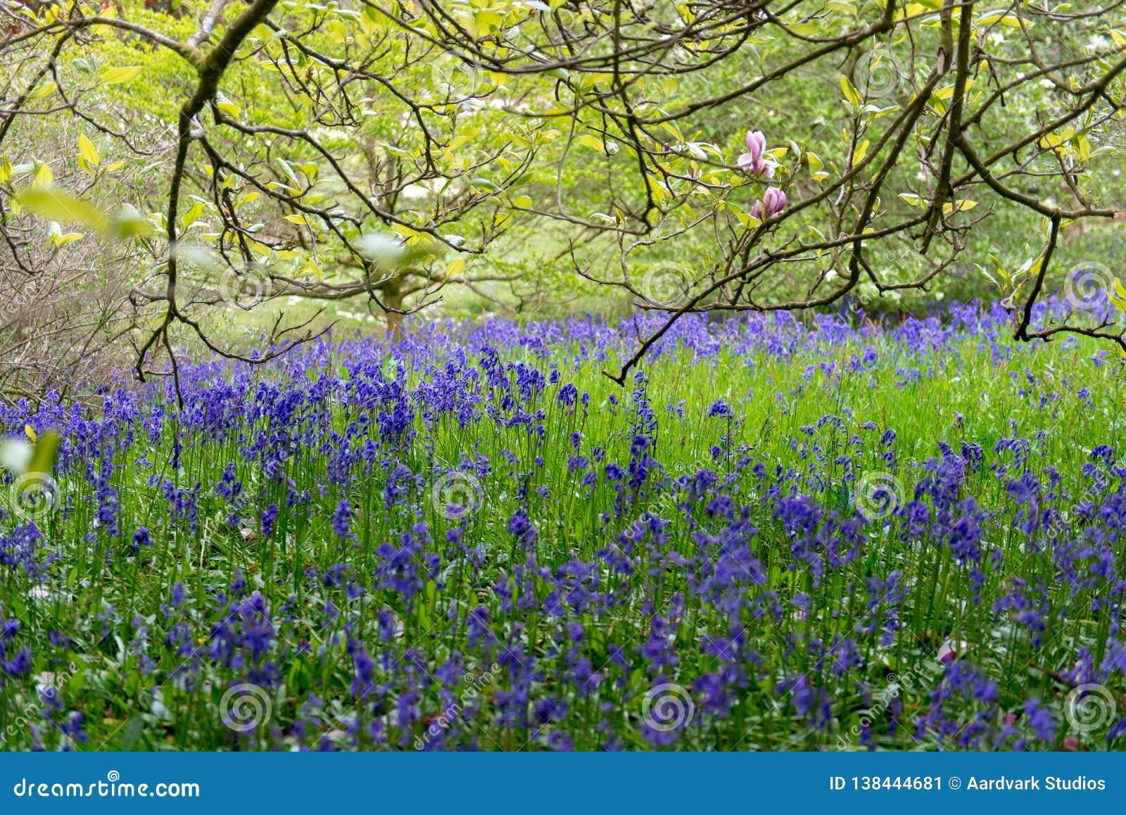 Pole fiołkowi bluebells