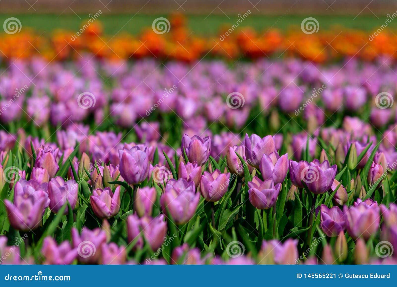 Pole fiołkowi tulipany w Holandia, wiosna czasu colourful kwiaty