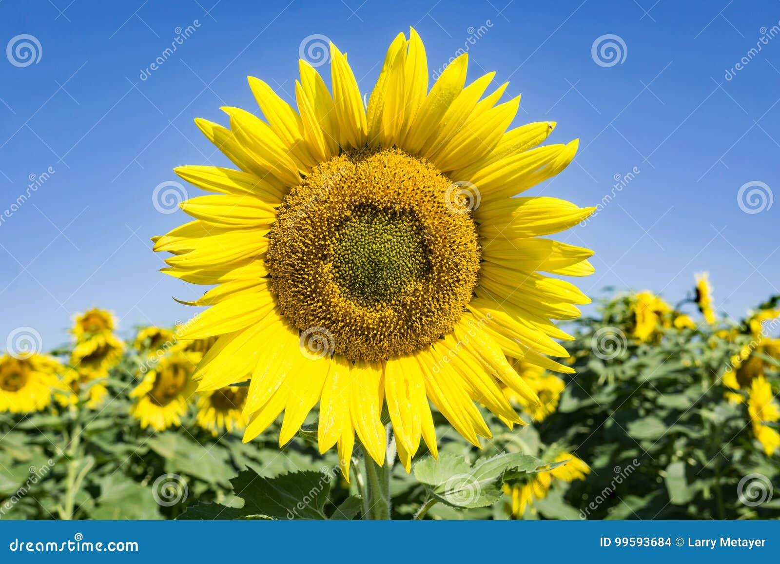 Pole Gigantyczni słoneczniki - 3