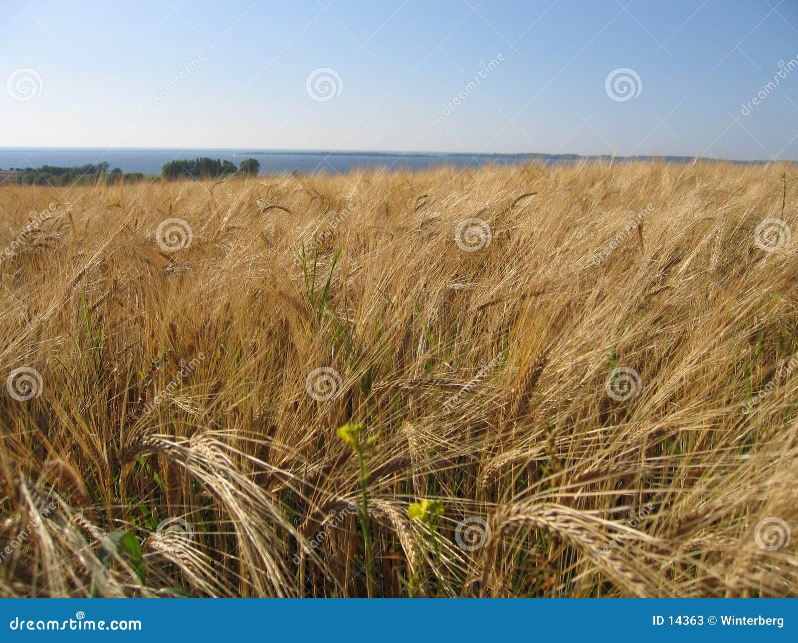 Pole kukurydzy pszenicy