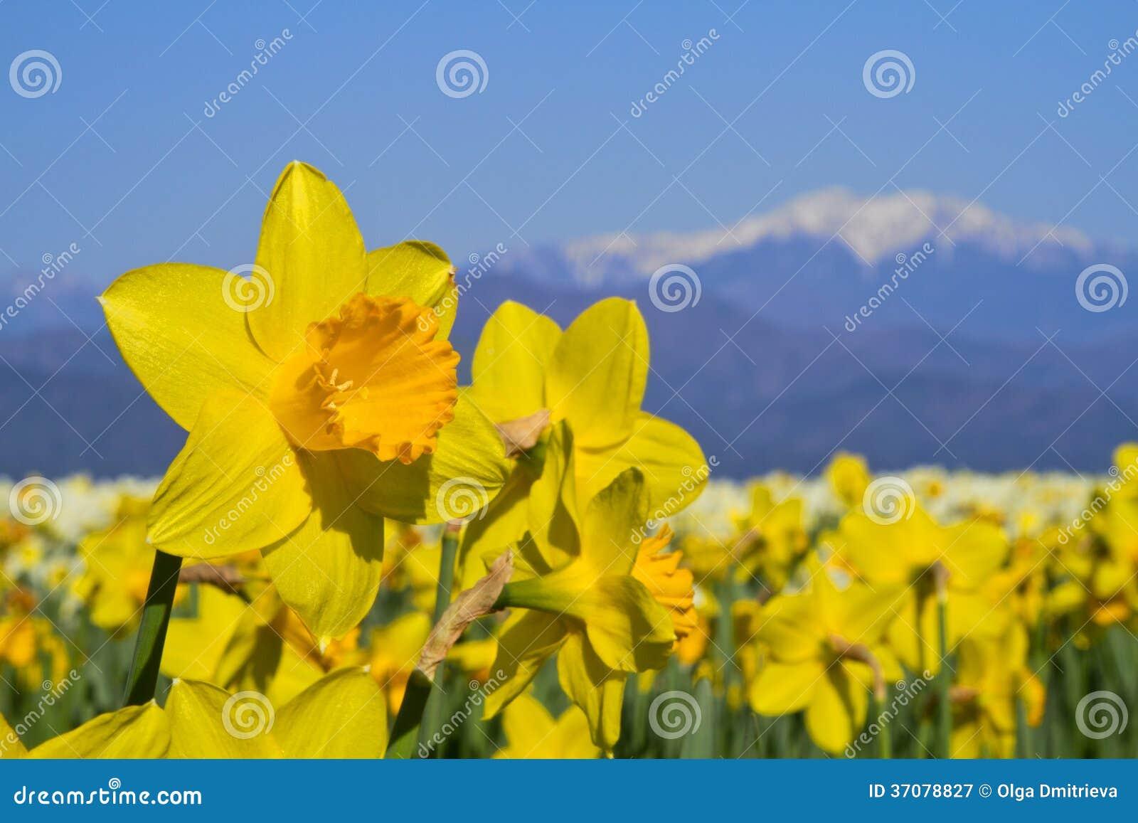 Download Pole narcyz. obraz stock. Obraz złożonej z natura, trawy - 37078827