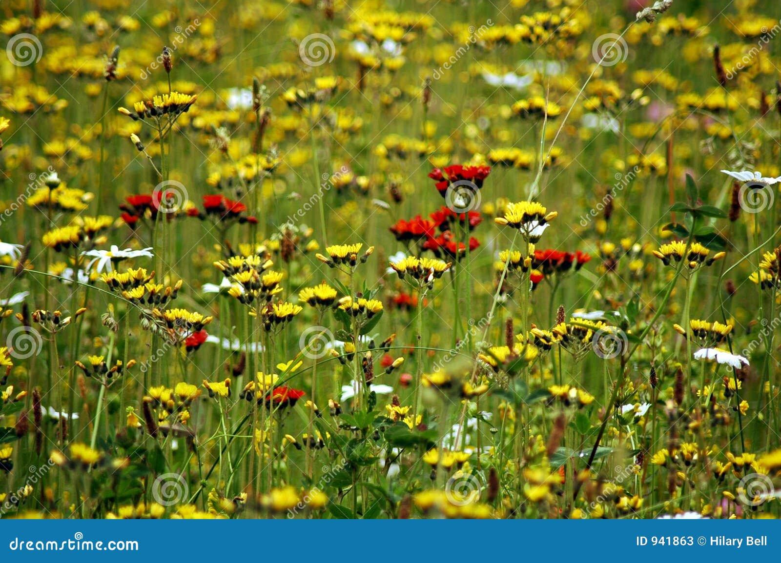 Pole pełne kwiaty