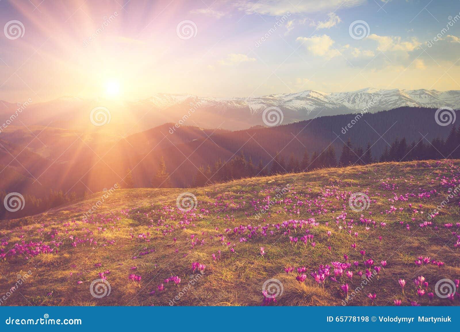 Pole pierwszy kwitnąca wiosna kwitnie krokusa jak tylko śnieg pochodzi na tle góry w świetle słonecznym