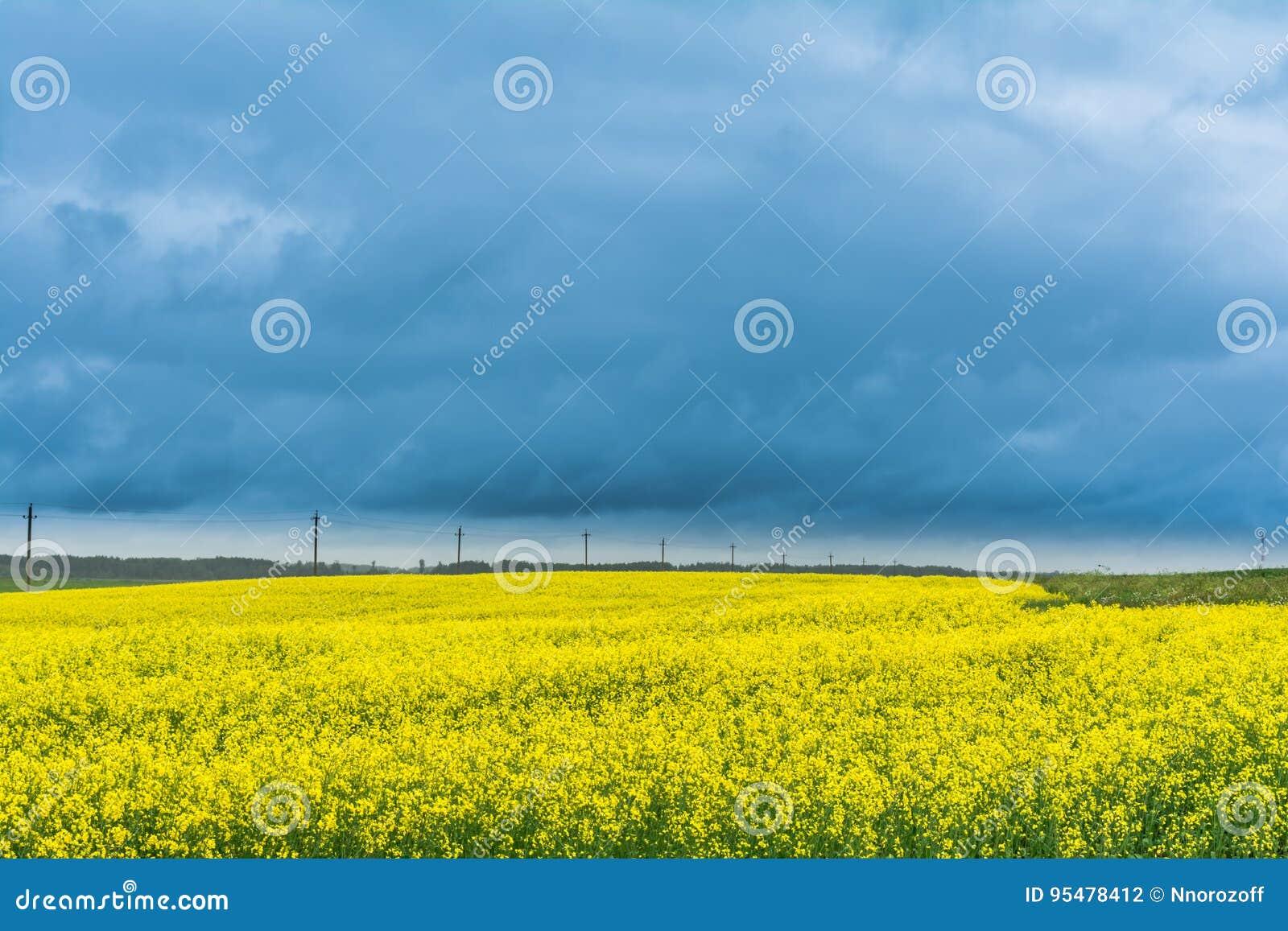 Pole rapeseed, canola lub colza w Białoruś z chmurzącym niebem,