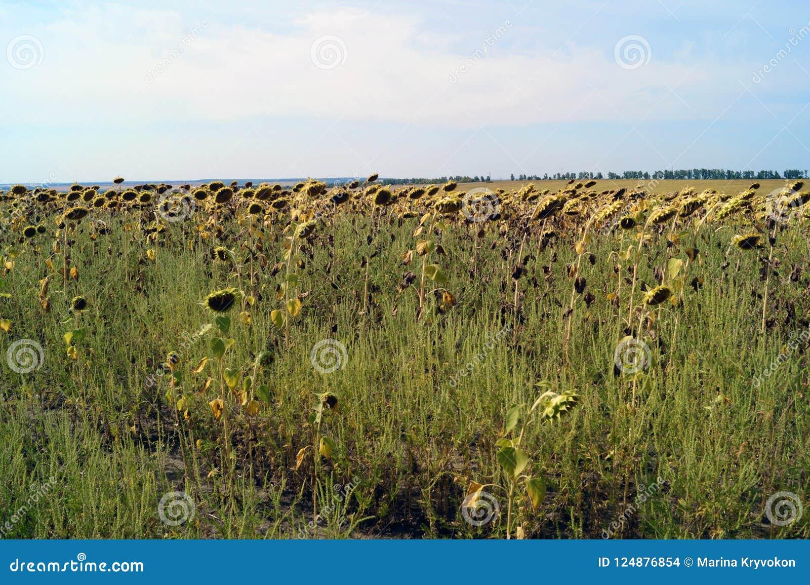 Pole słoneczniki przygotowywa zbierać