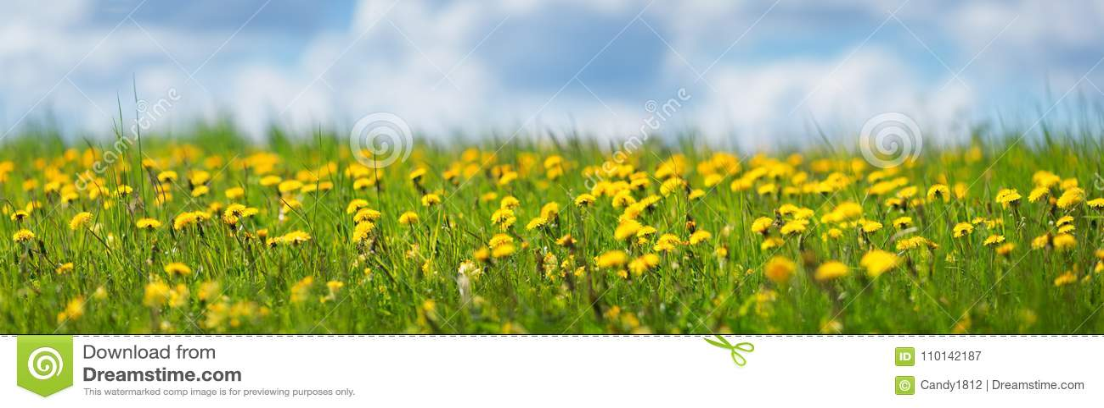 Pole z dandelions i niebieskim niebem