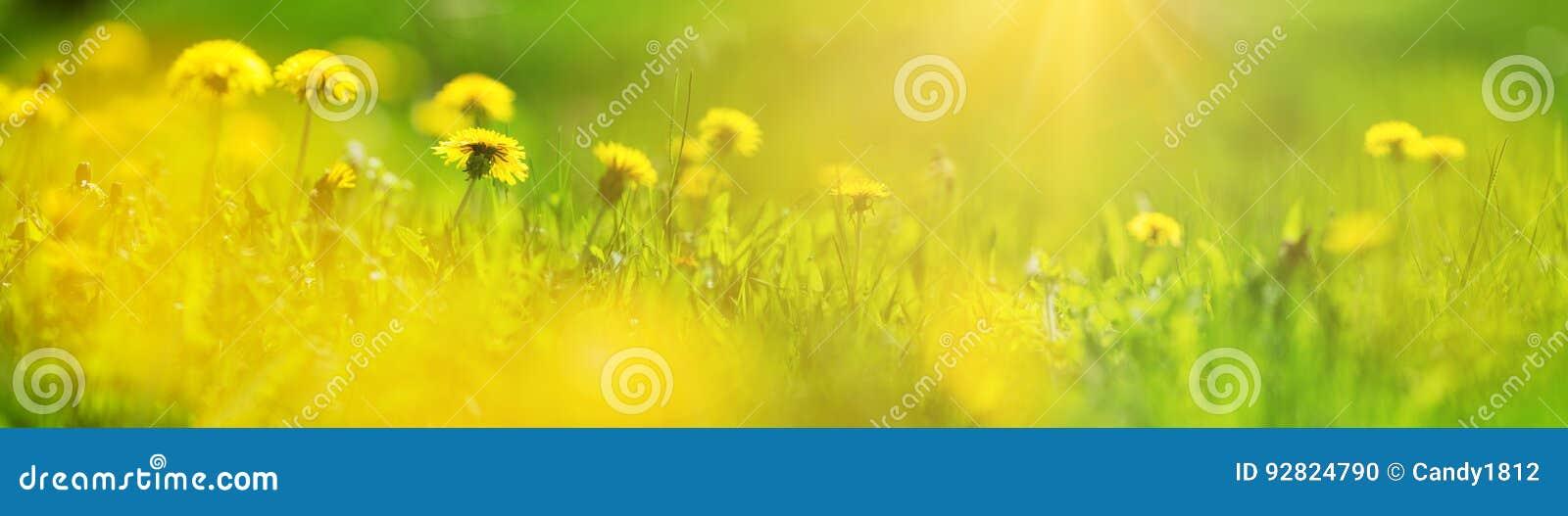 Pole z dandelions Zbliżenie żółci wiosna kwiaty