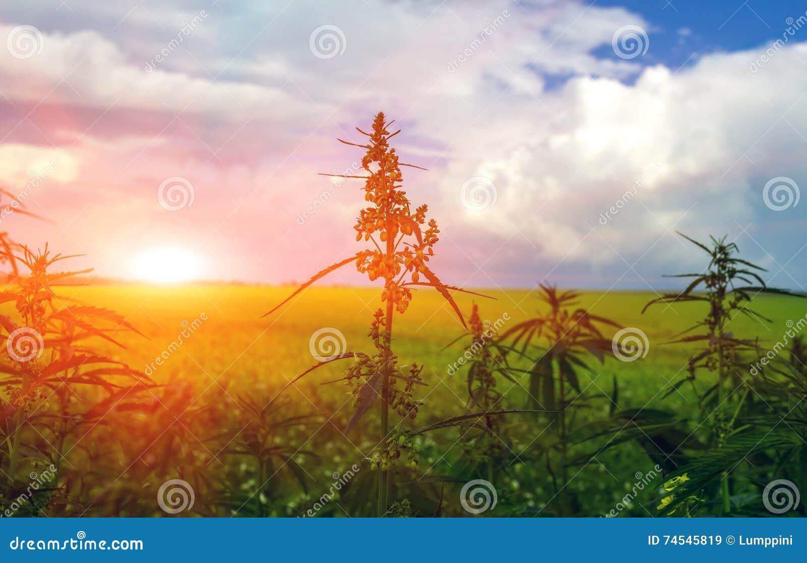 Pole z marihuaną marihuana krzak przy zmierzchem