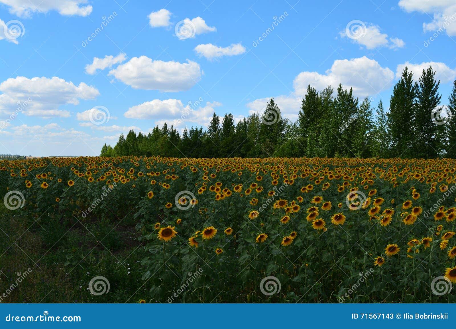 Pole z słonecznikami