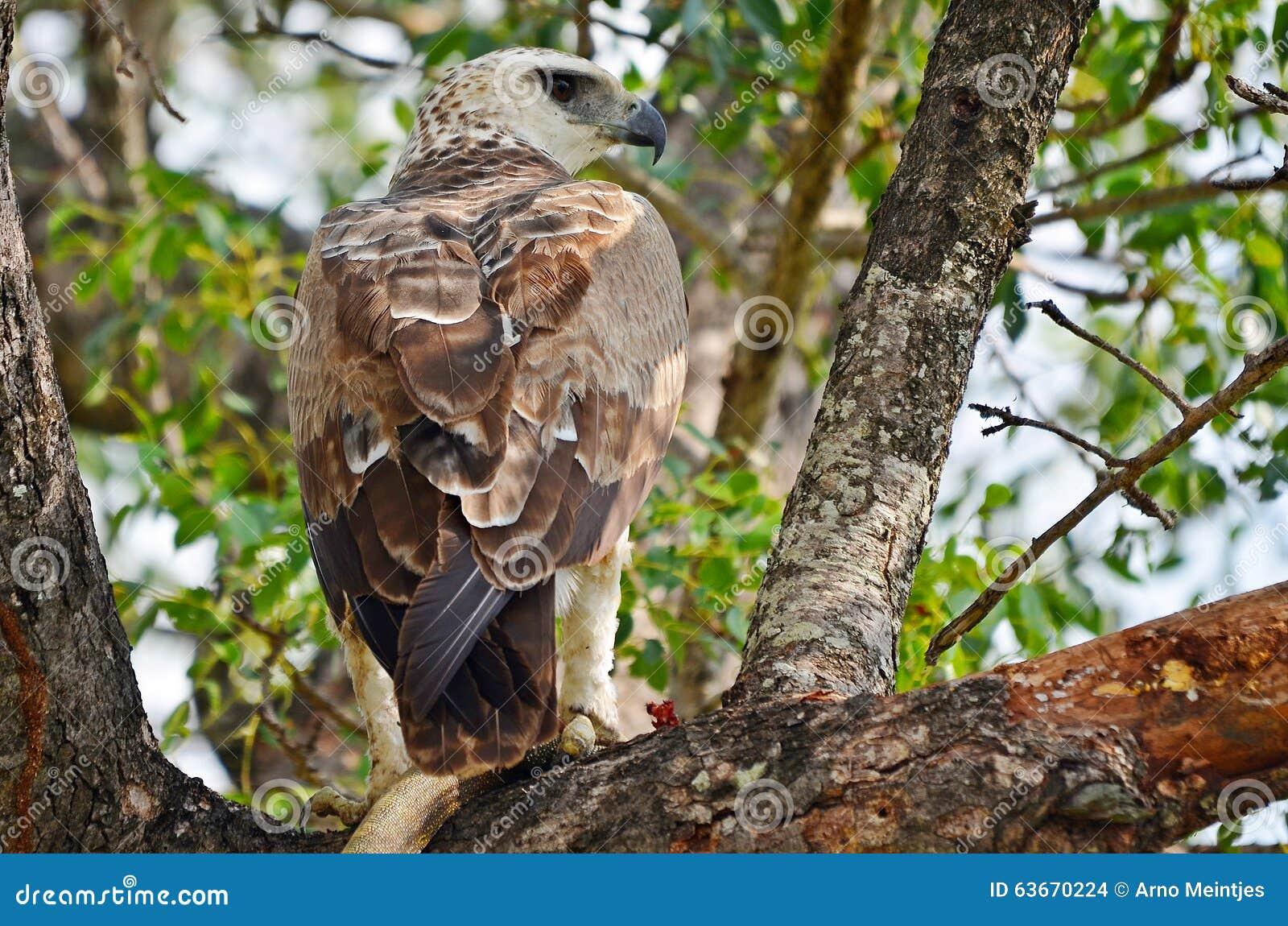 Polemaetus орла bellicosus военное
