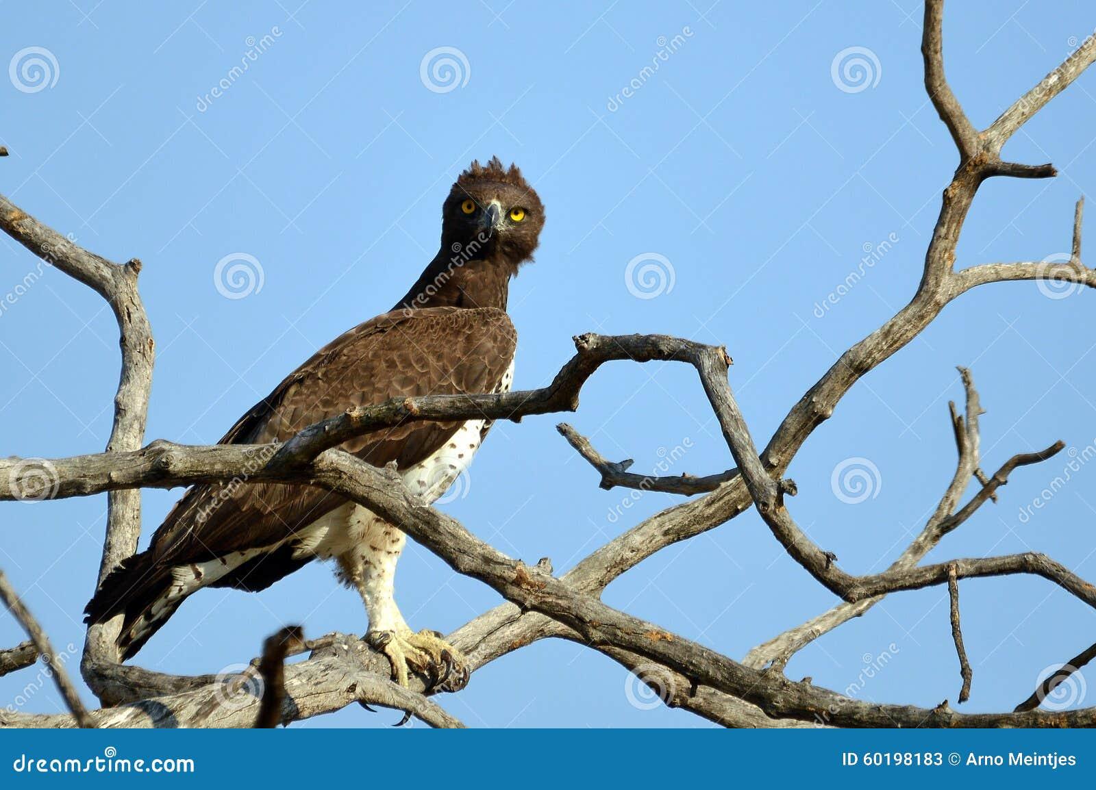 Polemaetus bellicosus (Martial eagle)