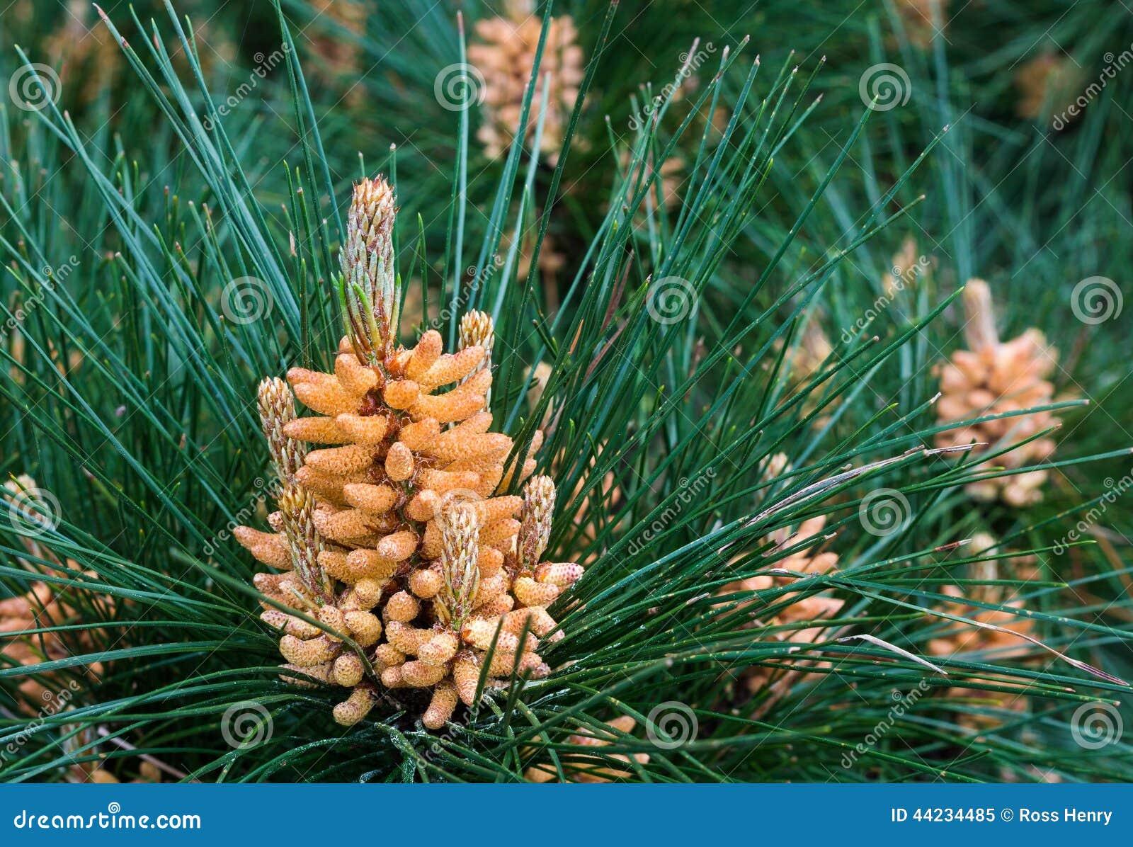 Polen del pino imagen de archivo. Imagen de conos, pino - 44234485
