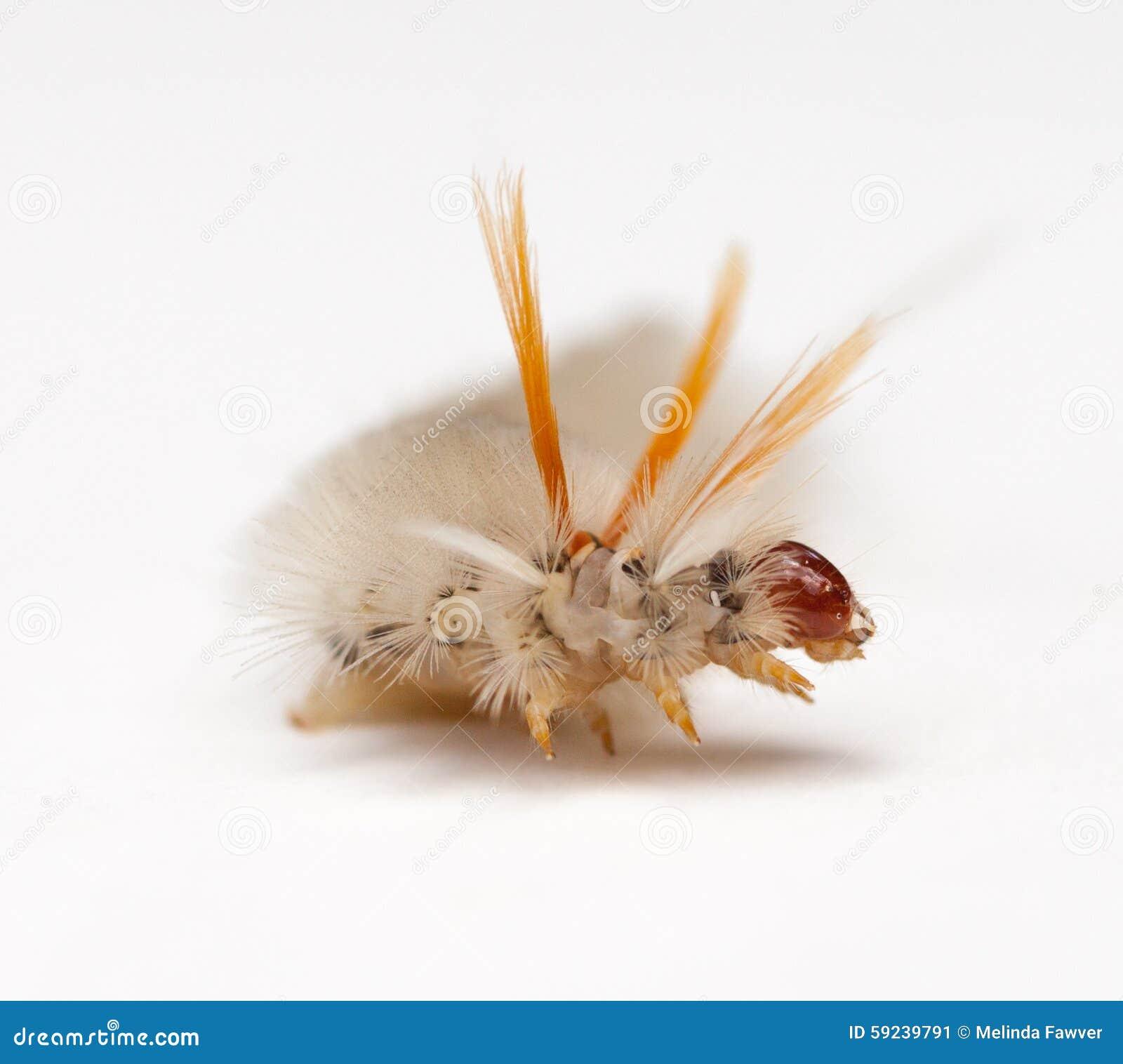 Polilla de mechón del sicómoro Caterpillar