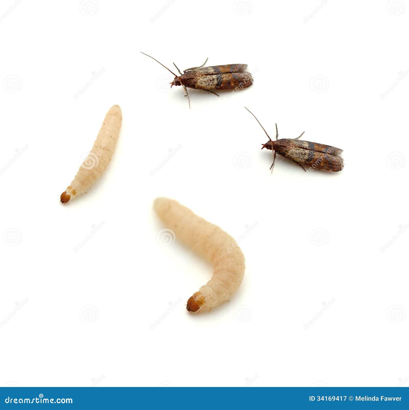 Polilla India De La Comida Imagen De Archivo Imagen De Larvas  ~ Como Son Las Polillas De La Madera