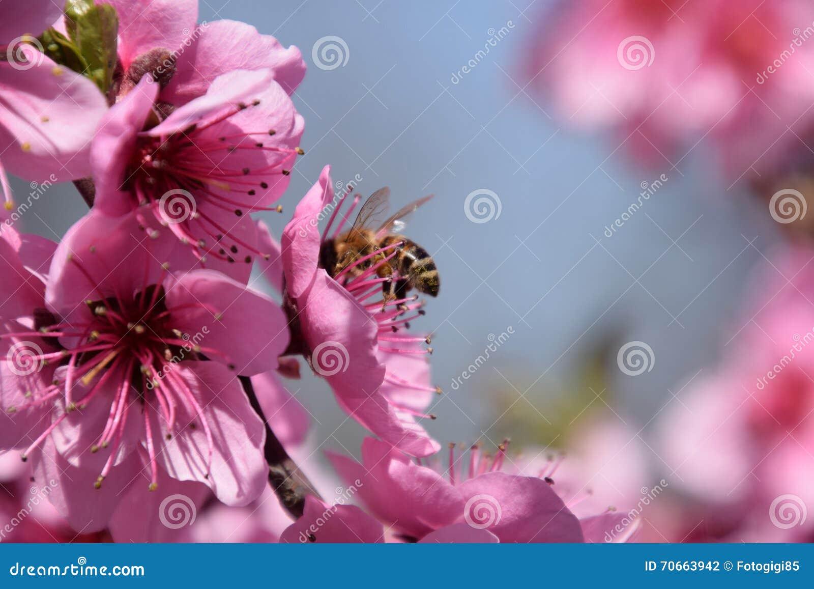 Polinização das flores pelo pêssego das abelhas