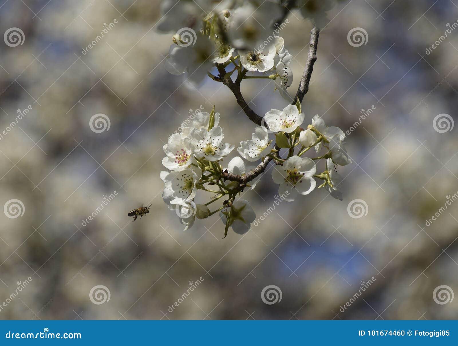 Polinização das flores por peras das abelhas