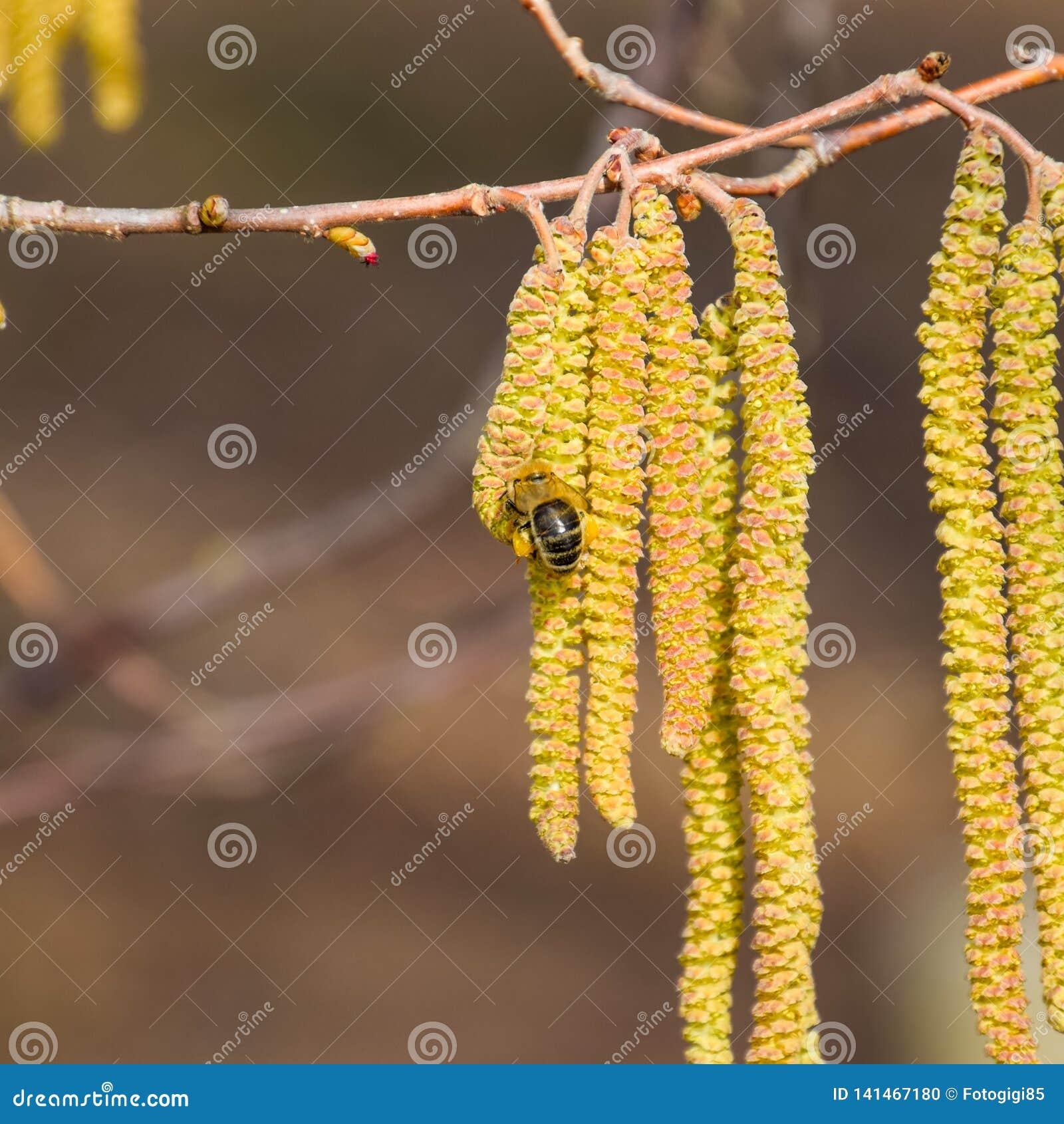 Polinização pela avelã dos brincos das abelhas Avelã côr de avelã de florescência