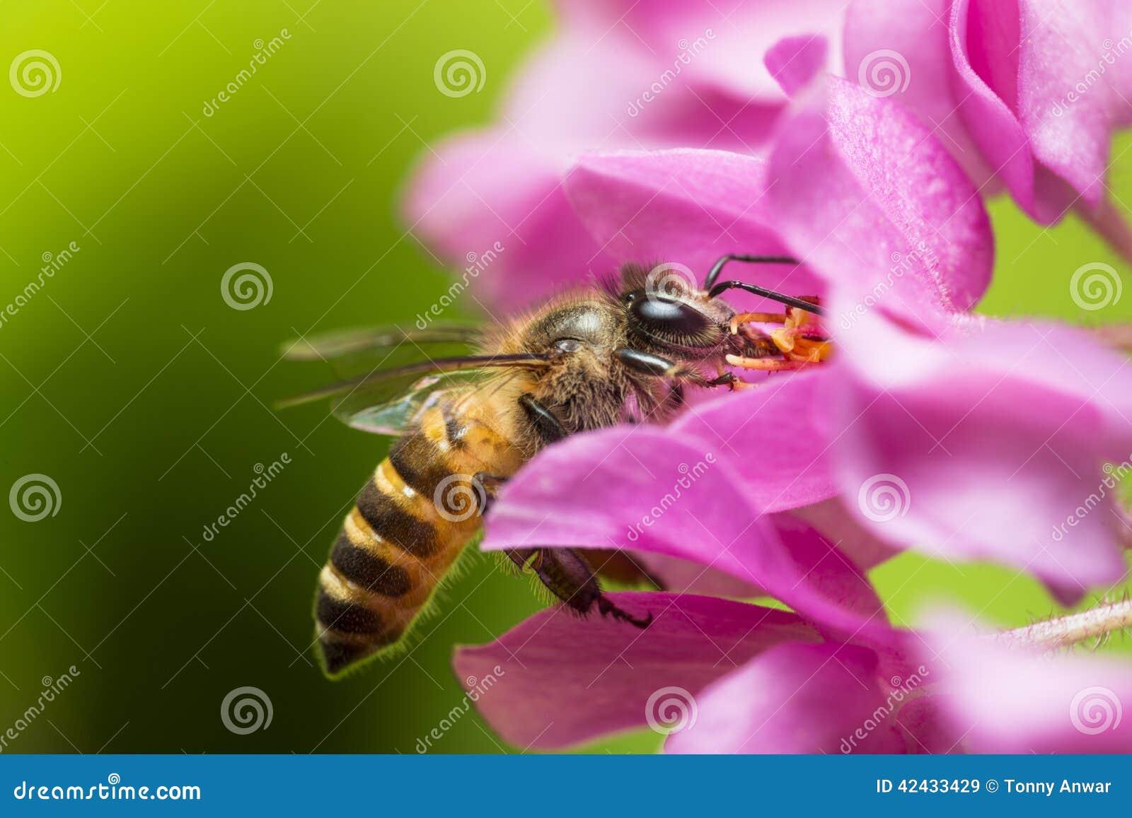 Polinización de la abeja