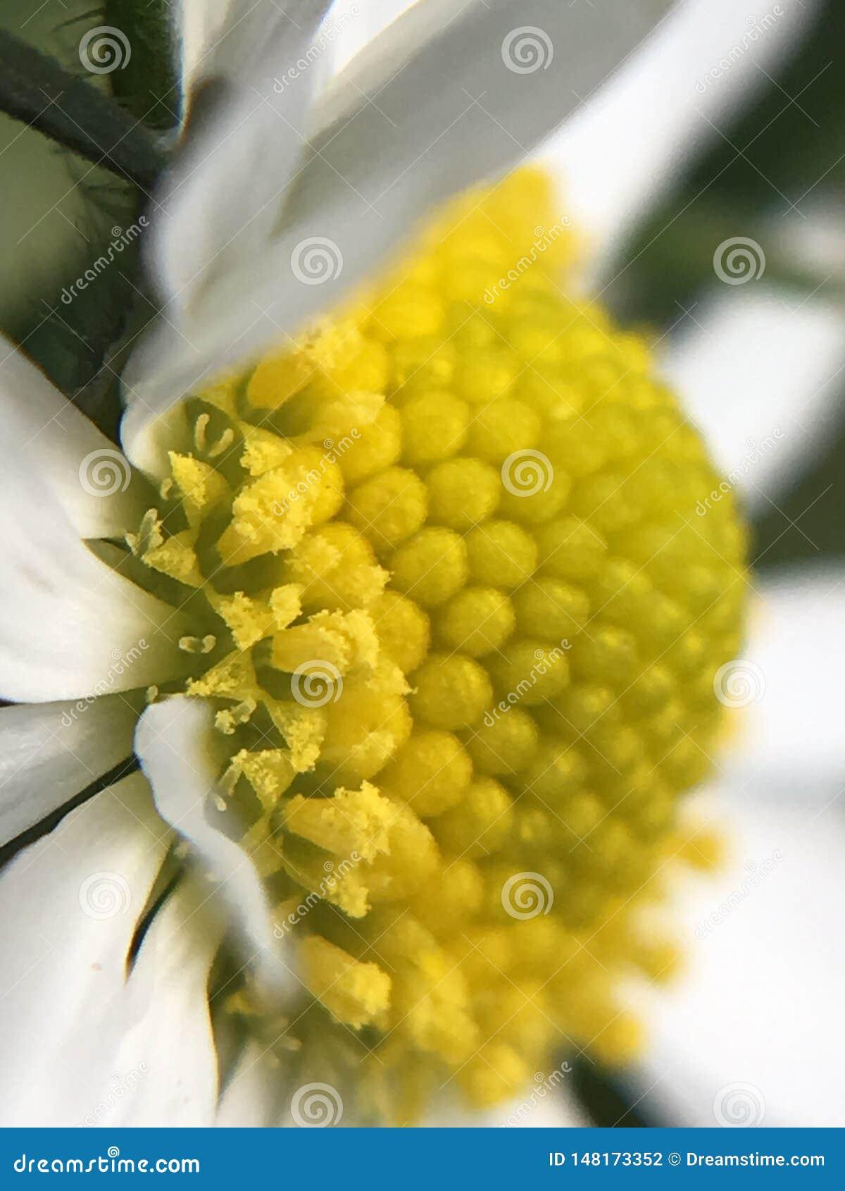 Pollen of a Summer Daisy