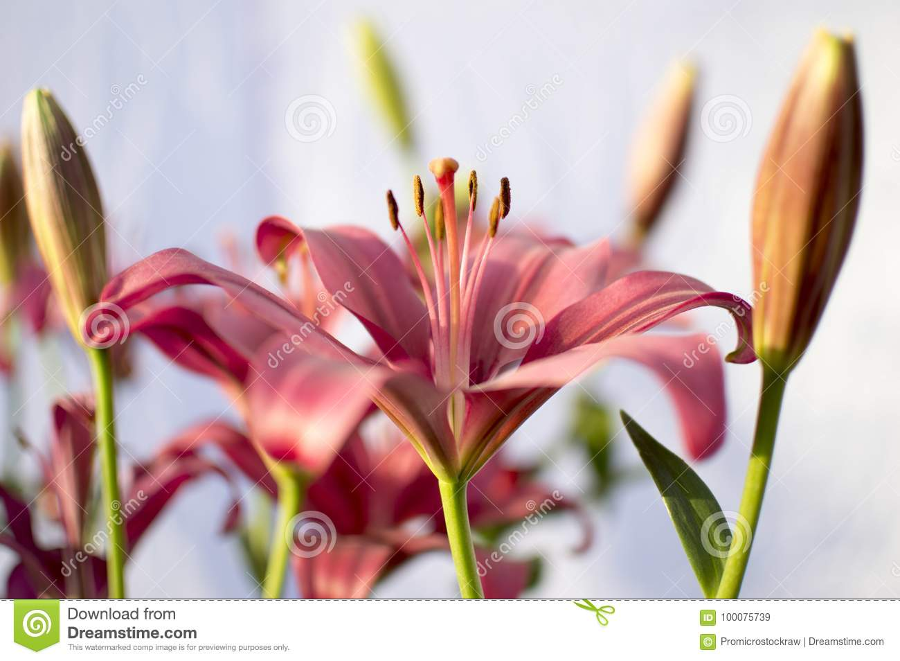 Pollens of lily flower of red and pink color stock image image of pollens of lily flower of red and pink color izmirmasajfo