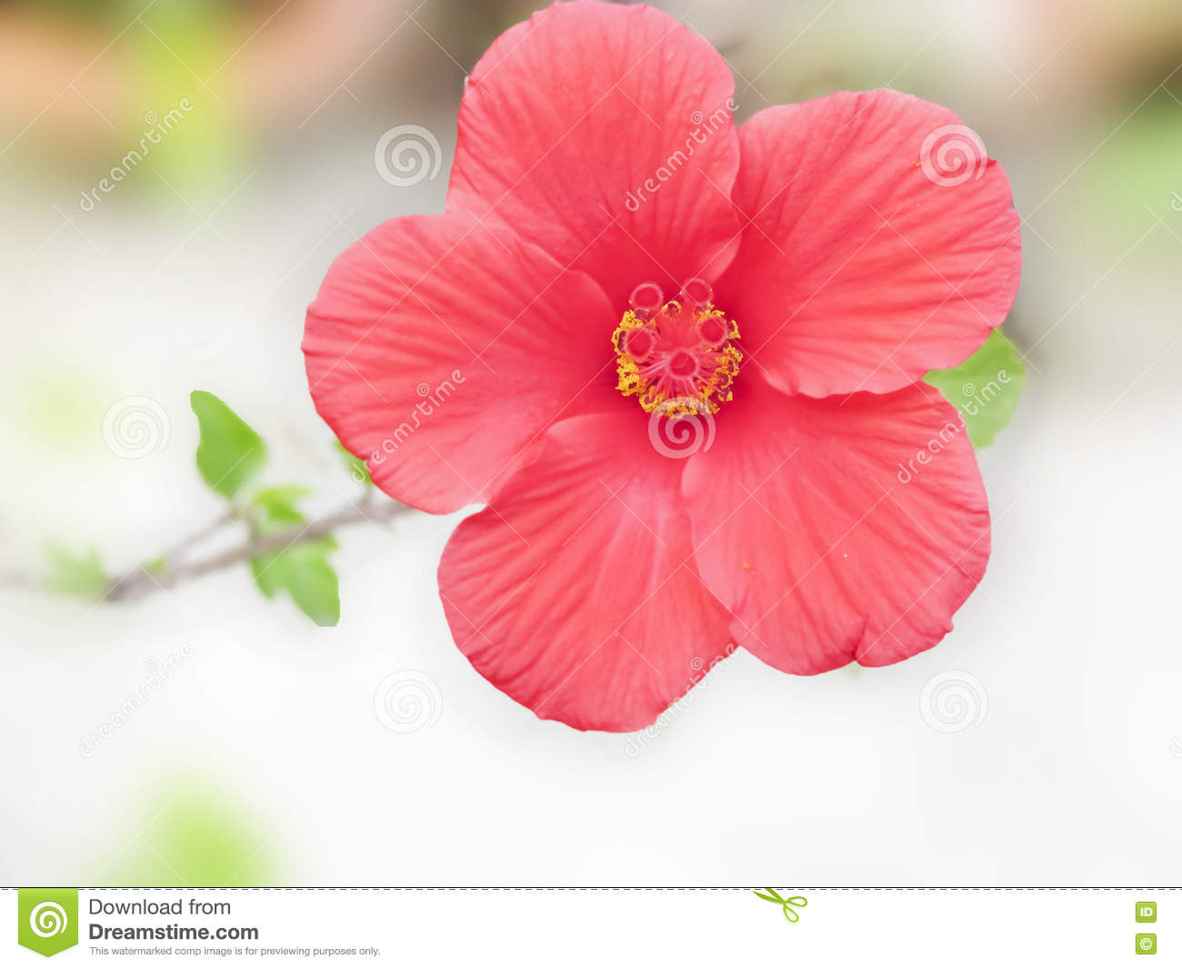 Pollens And Stigma Of Hibiscus Flower Stock Image Image Of