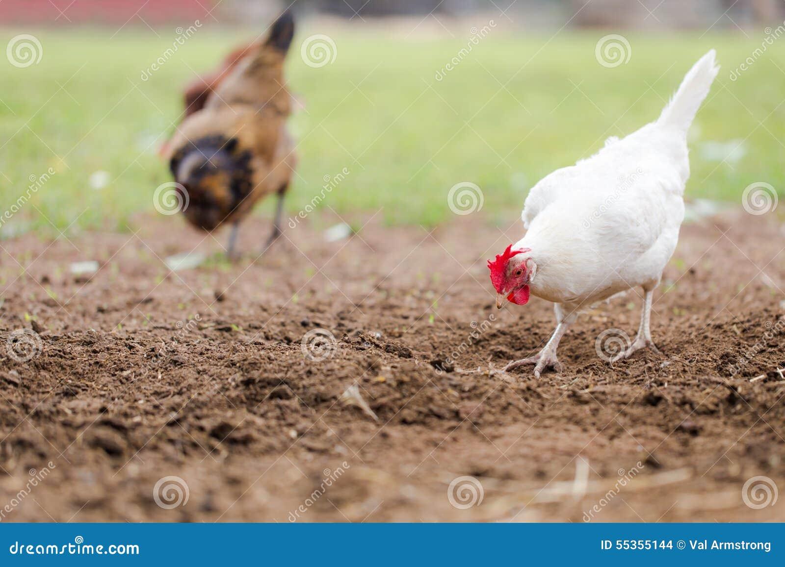 Polli liberi della gamma che graffiano in sporcizia