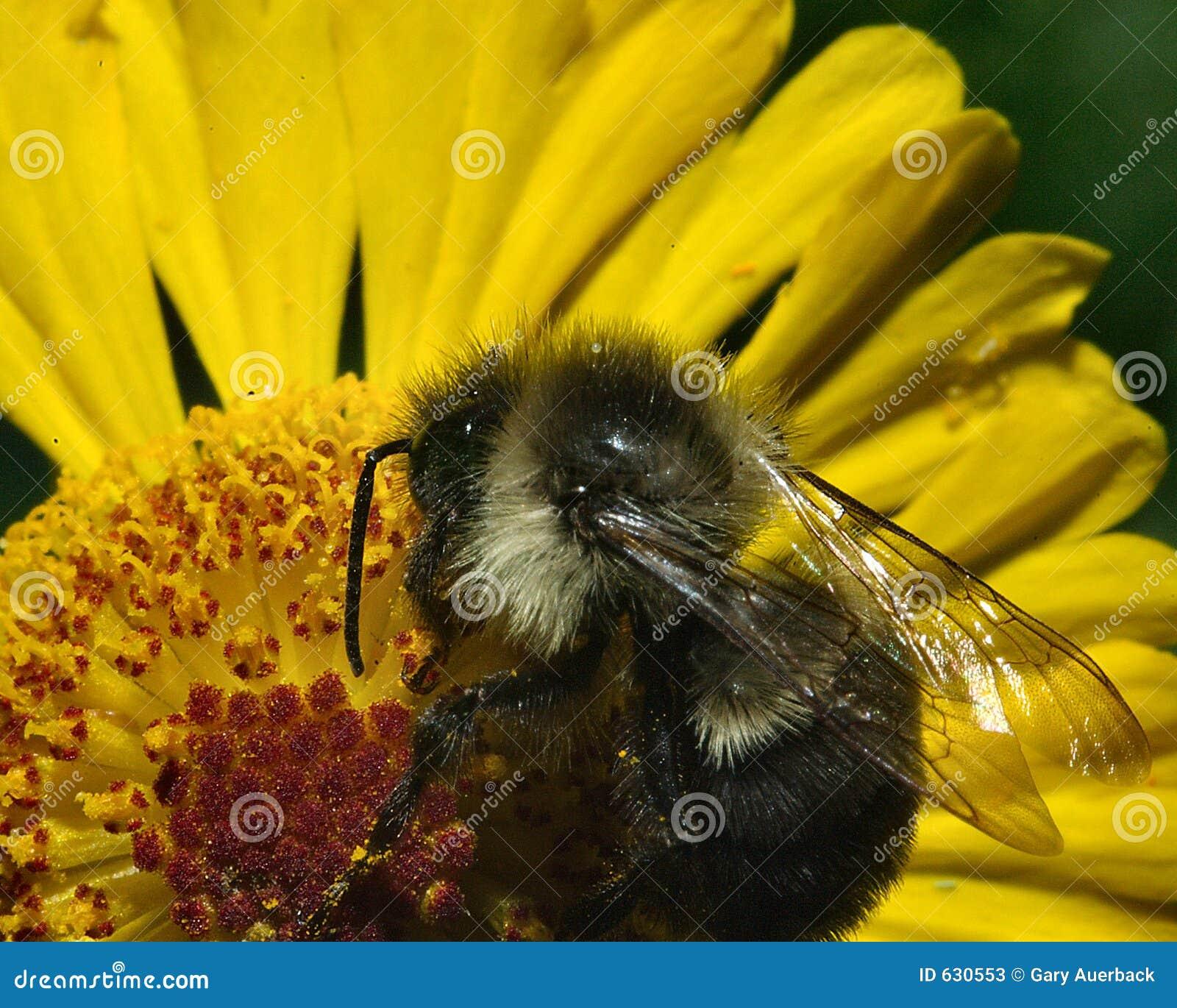 Download Pollin меда пчелы стоковое изображение. изображение насчитывающей фото - 630553