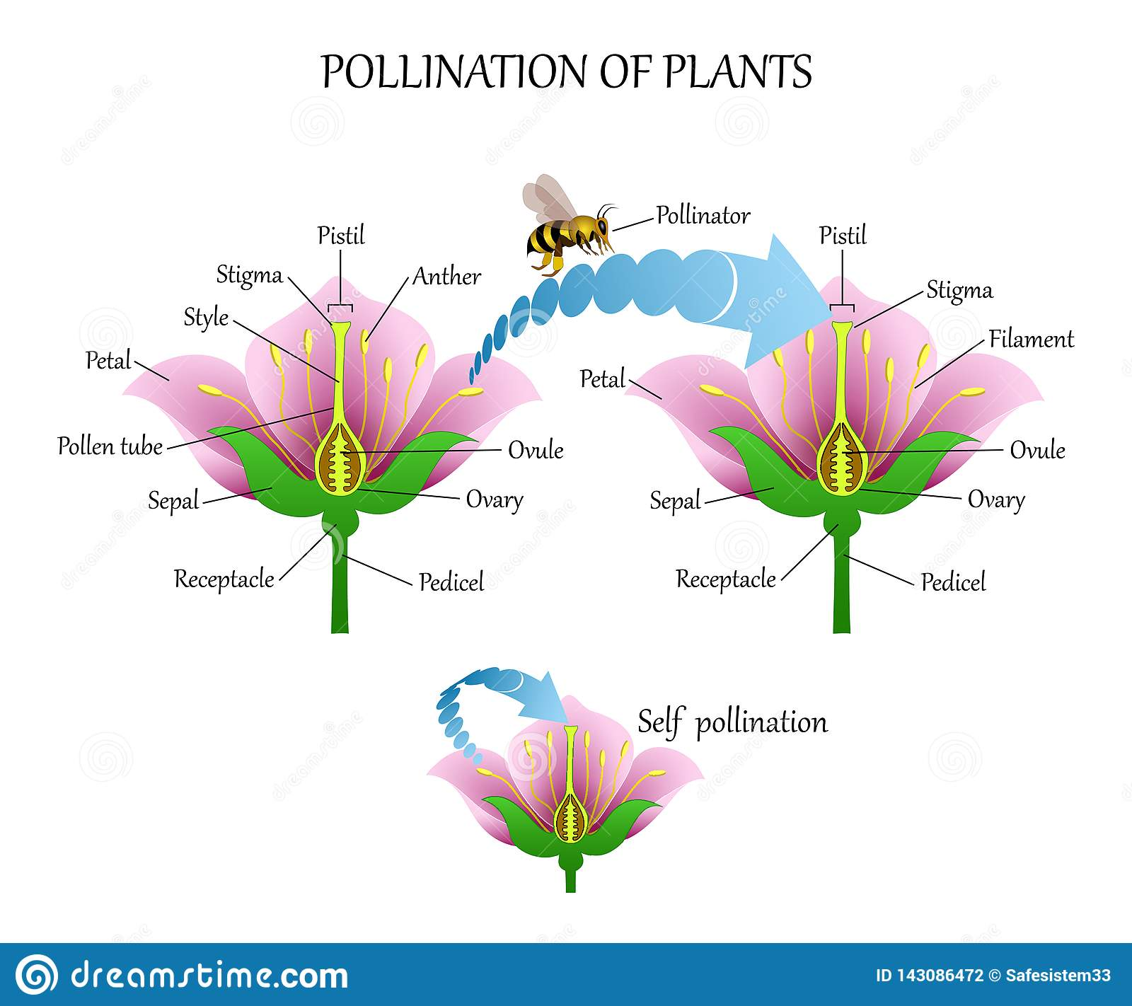 Pollinating Plants With Insects And Self