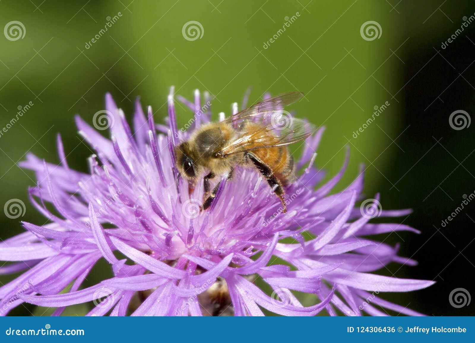 Pollinisateur occidental d abeille de miel forageant sur une fleur de bergamote