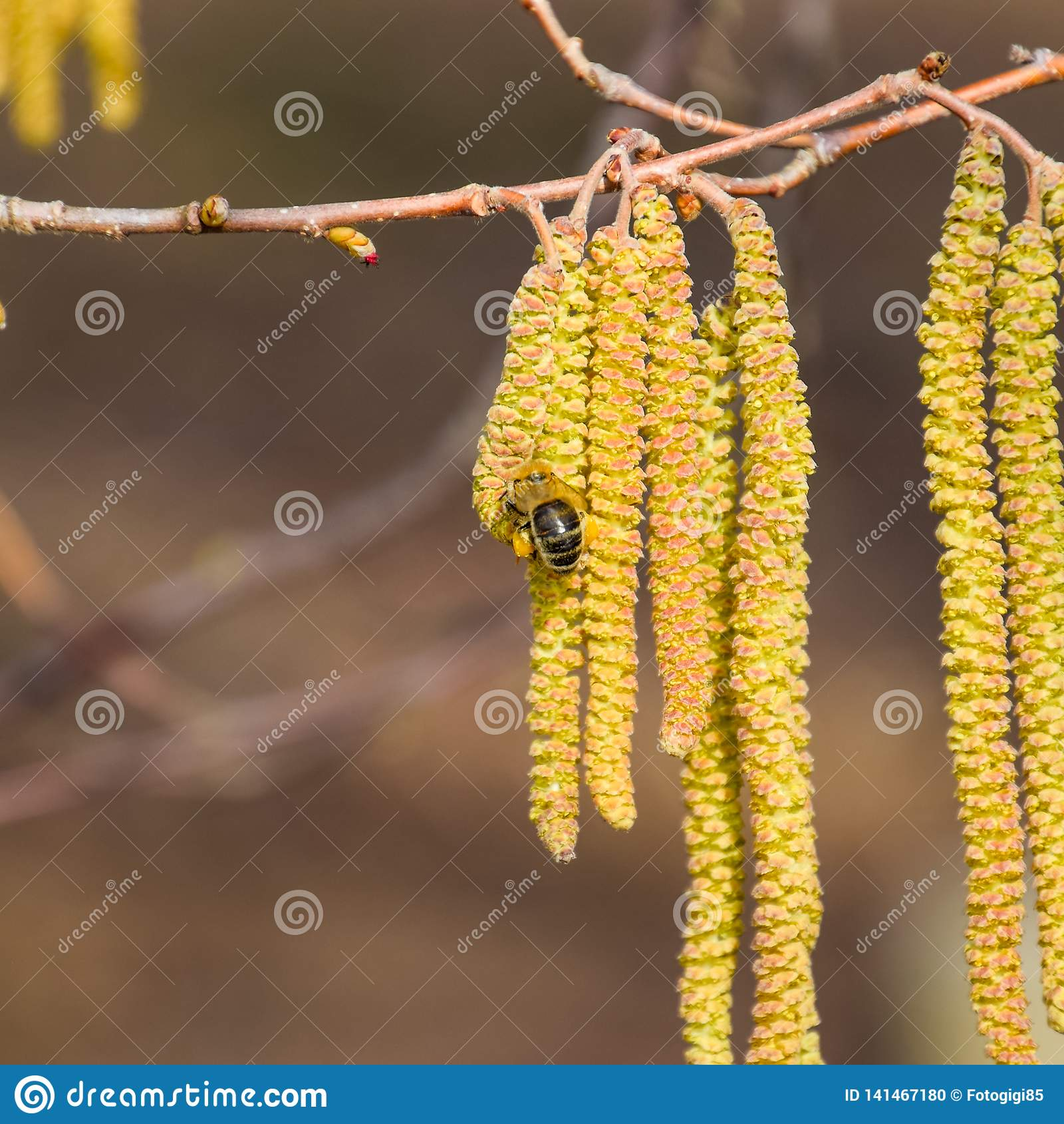 Pollinisation par la noisette de boucles d oreille d abeilles Noisette de noisette fleurissante