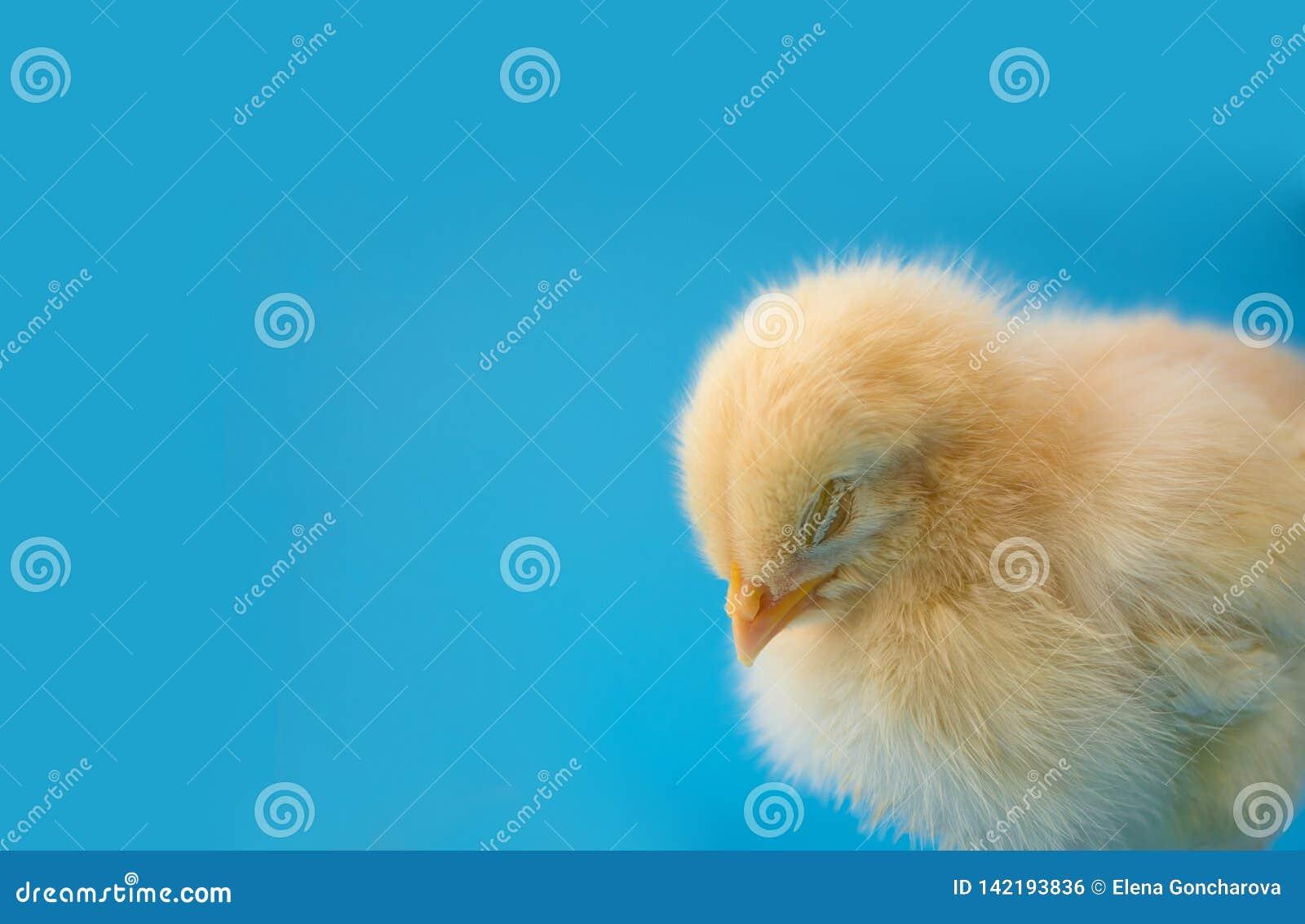 Pollo amarillo soñoliento recién nacido en un fondo azul