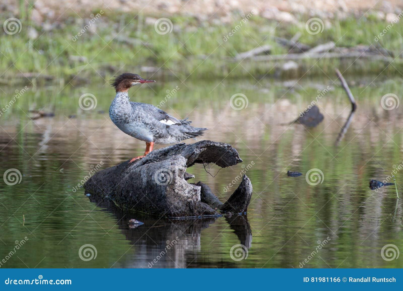 Pollo de agua común Hen Swimming en una charca