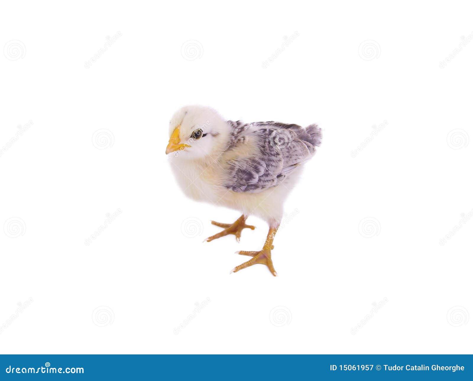 Fotografia stock libera da diritti: pollo del bambino