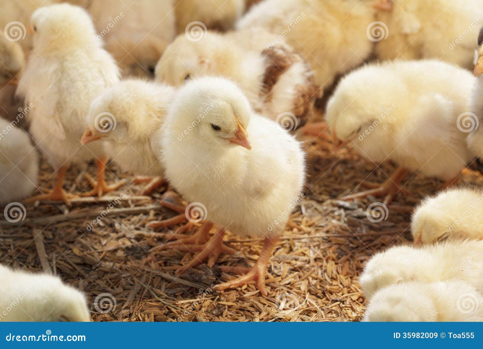 Pollo del bebé en granja avícola