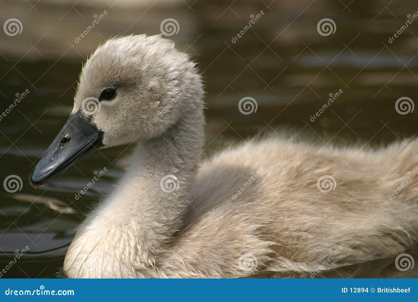 Pollo del cisne