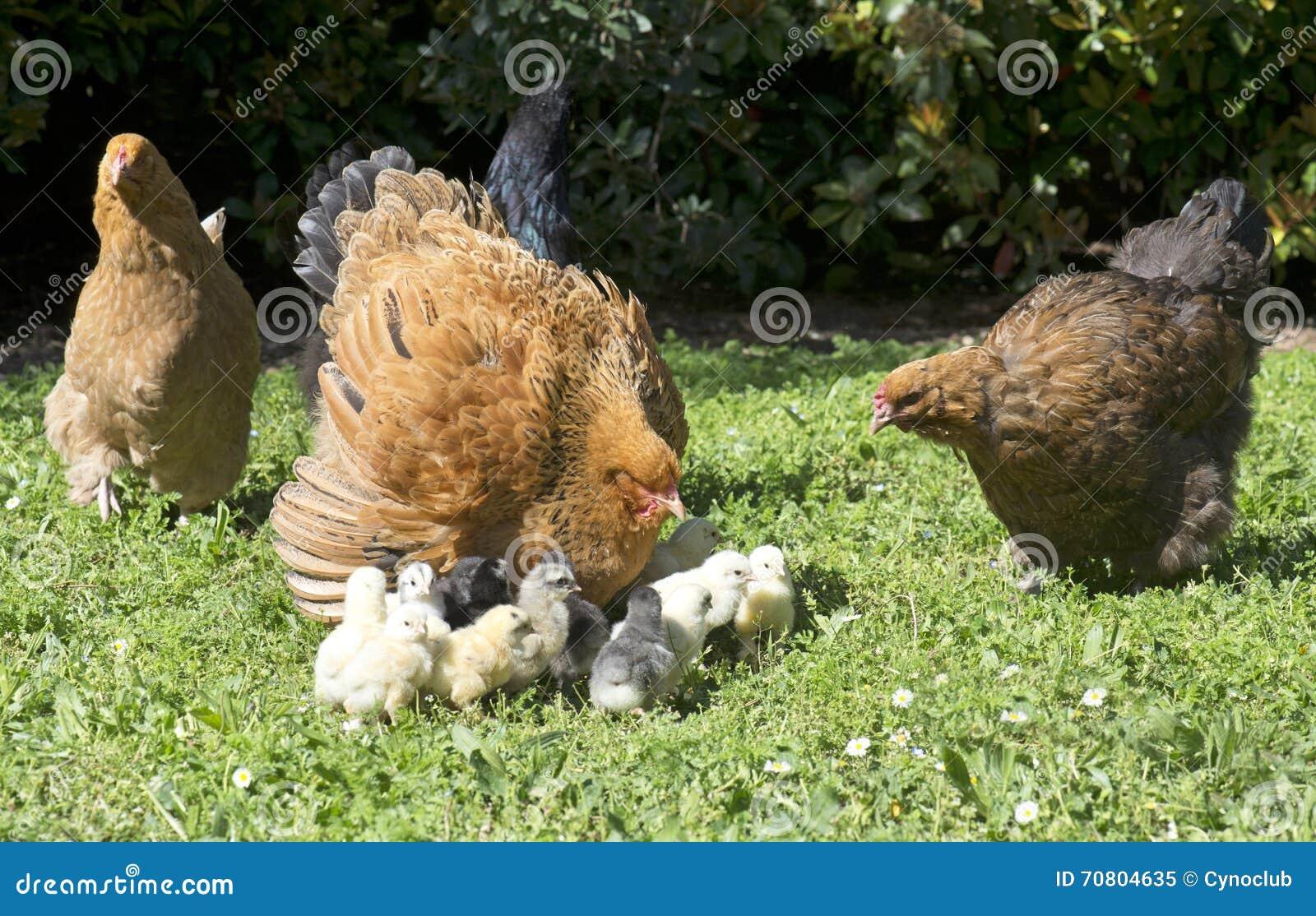 pollo e pulcini di brahma immagine stock immagine di giardino 70804635. Black Bedroom Furniture Sets. Home Design Ideas