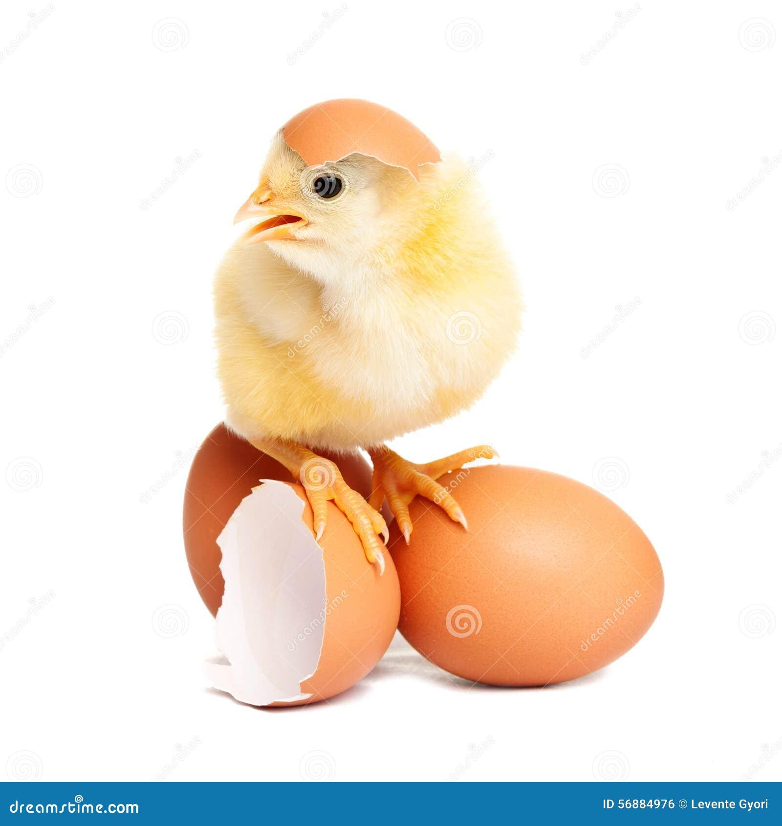 Pollo sveglio sulle uova